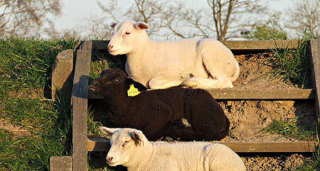 schapen op de wallen